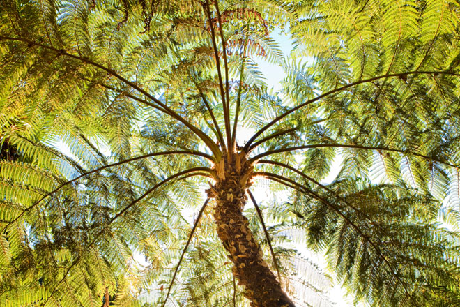 Australian tree fern (Cyathea cooperi). Photo: Saxon Holt