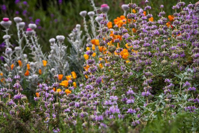 Salvia leucophylla 'Point Sal' with California native poppies and thistle. Photo: Saxon Holt/PhotoBotanic
