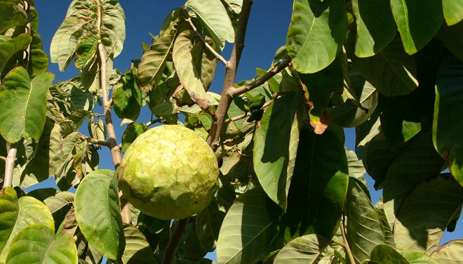 Cherimoya, or custard apple, (Annona cherimola) is native to southern Ecuador and northern Peru. Photo: Hannes Grobe via Wikimedia Commons (CC BY-SA 2.5)