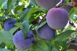 Plums from the Fair Oaks Horticulture Center orchard. Photo: Jan Fetler