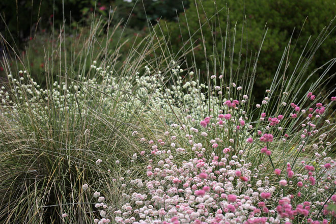 Eriogonum latifololium crosses mingle with Muhlenbergia rigens. Photo: courtesy of Annie's Annuals