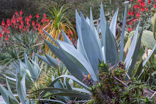Agave americana in San Francisco Botanical Garden. Photo: Saxon Holt