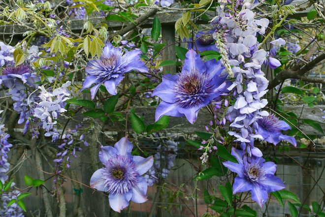 Clematis 'Multi Blue' in Wisteria frutescens var. macrostachya 'Blue Moon'. Photo: Marietta and Ernie O'Byrne