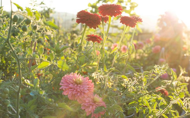 A rambunctious planting of colorful zinnias and cherry tomatoes mixed together in the vegetable garden.  Photo: Emily Murphy
