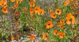 California native wind poppies (Papaver heterophylla). Photo: Stephanie Penn