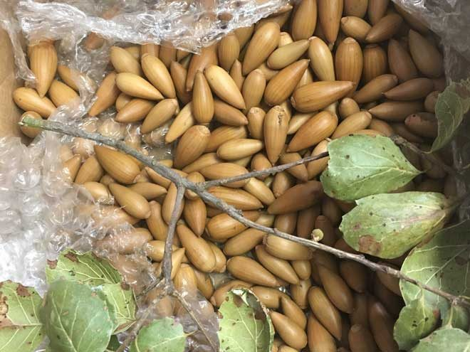 This is a typical acorn donation, just after the package is opened. (These are from a coast live oak.) Photo: Kathy Morrison