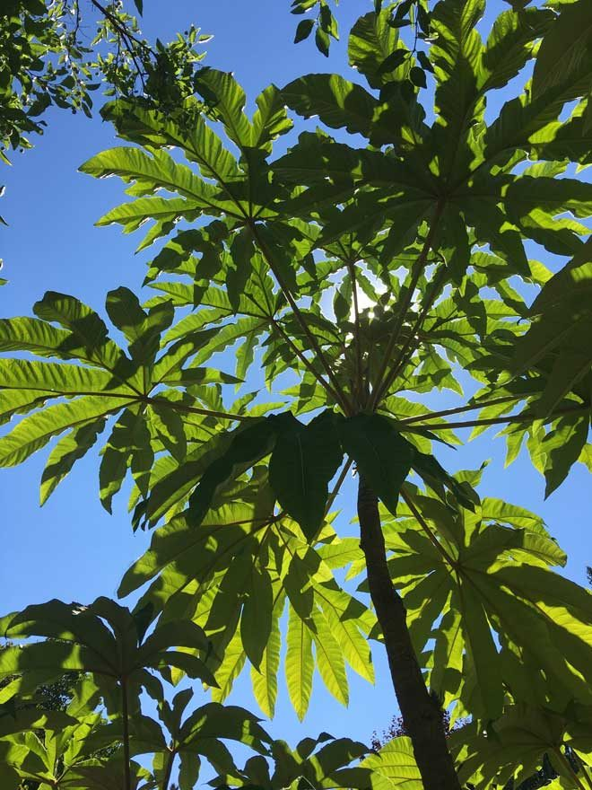 We decided Tetrapanax papyrifer 'Sterodial Giant' was the totem plant for our weekend in Portland. We saw the dramatic plant in several gardens, but this one in Loree's garden was a real showstopper.