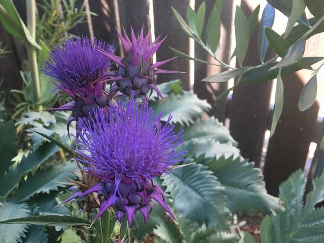 Cynara baetica var. morrocana and Melianthus major—a brilliant plant pairing in Greg Shepherd's garden.