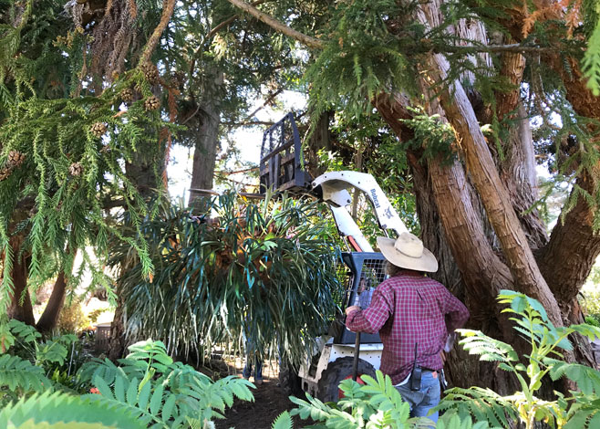 The enormous staghorn fern was installed at Mendocino Coast Botanical Gardens in early March 2018. Photo: Roxanne Perkins